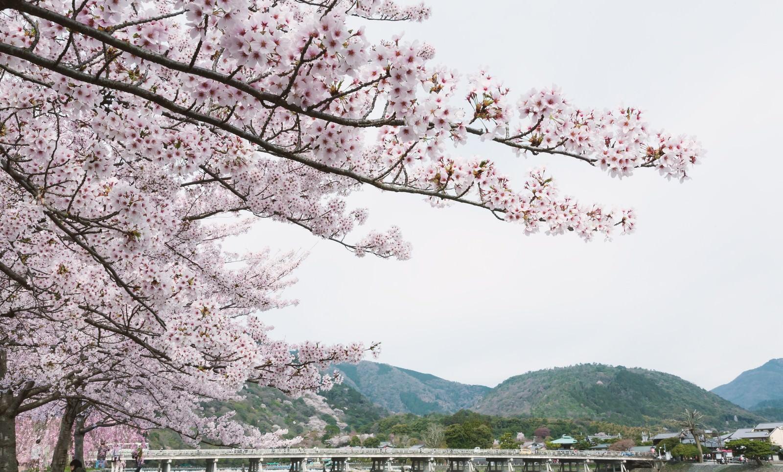 「嵐山の桜嵐山の桜」のフリー写真素材を拡大