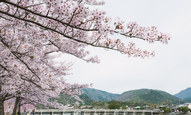 嵐山の桜の写真