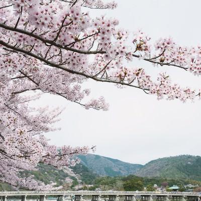 「嵐山の桜」の写真素材