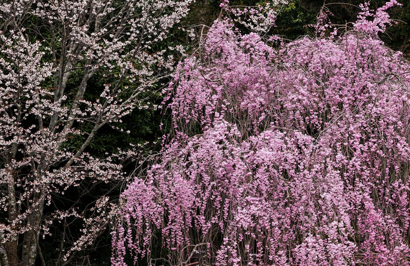 「枝垂れサクラ」の写真