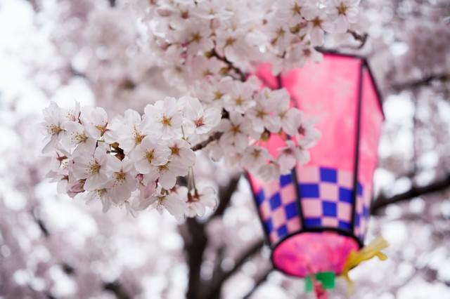 提灯と桜の花