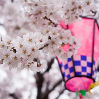 「提灯と桜の花」の写真素材