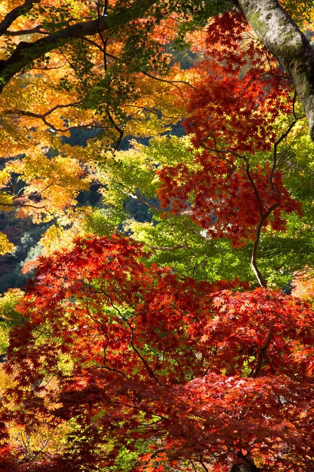 変わりゆく黄葉の木々の写真