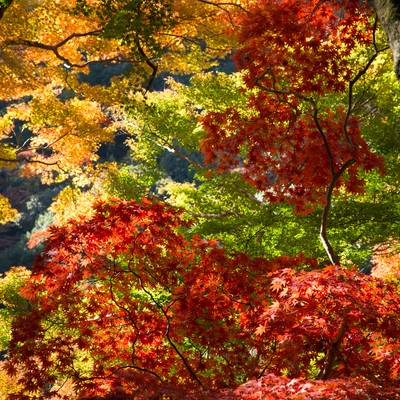 「変わりゆく紅葉の木々」の写真素材