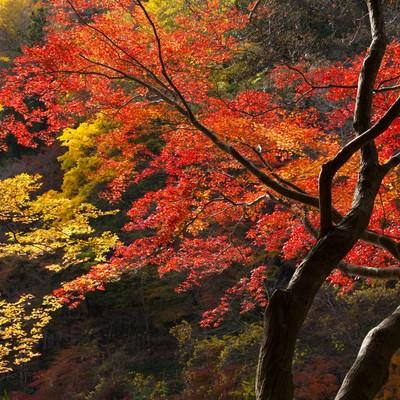 「紅葉した山と木」の写真素材
