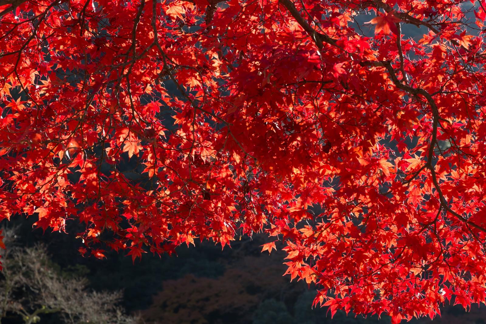 「真っ赤な紅葉」の写真