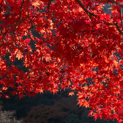 真っ赤な紅葉の写真