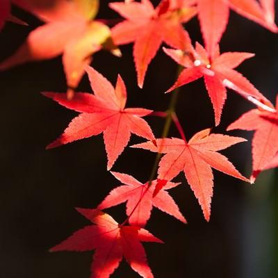 鮮やかな紅葉の写真