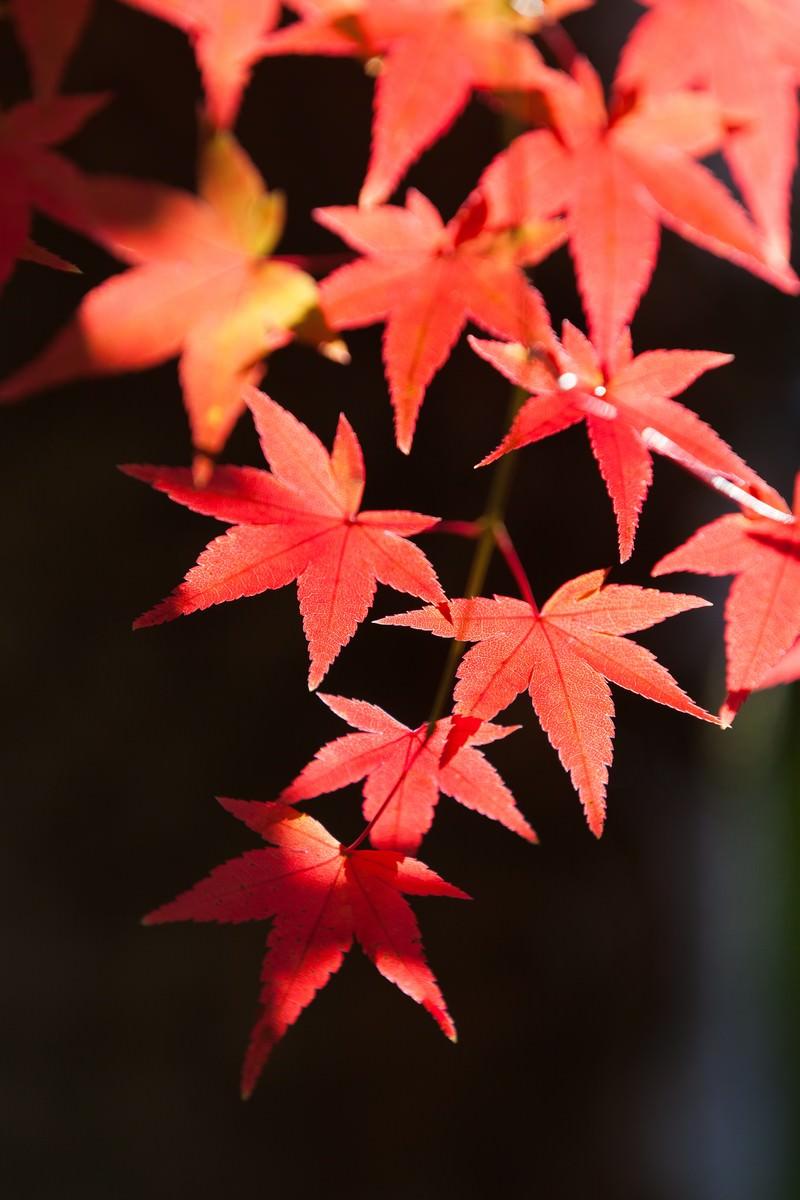 「鮮やかな紅葉」の写真