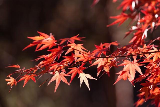 色づいた紅葉の写真