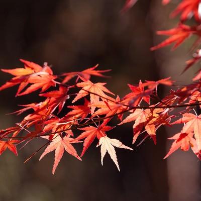 「色づいた紅葉」の写真素材