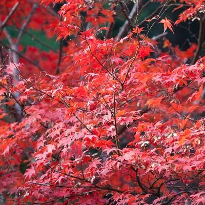 「真っ赤に染まった紅葉」の写真素材