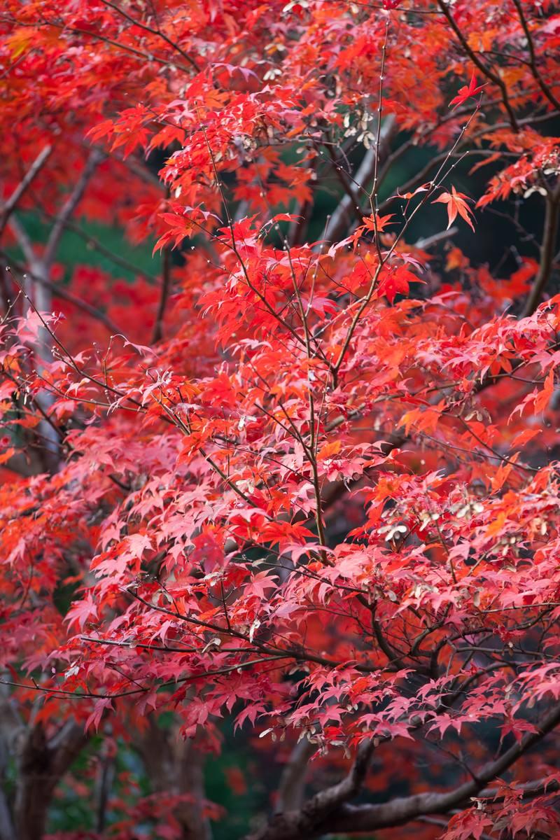 「真っ赤に染まった紅葉真っ赤に染まった紅葉」のフリー写真素材を拡大