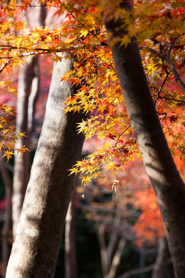 黄葉と木々の写真