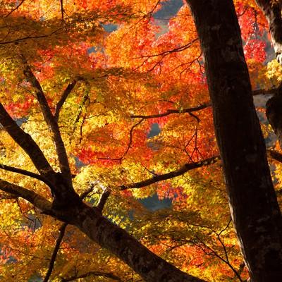 「オレンジ色に紅葉した木」の写真素材