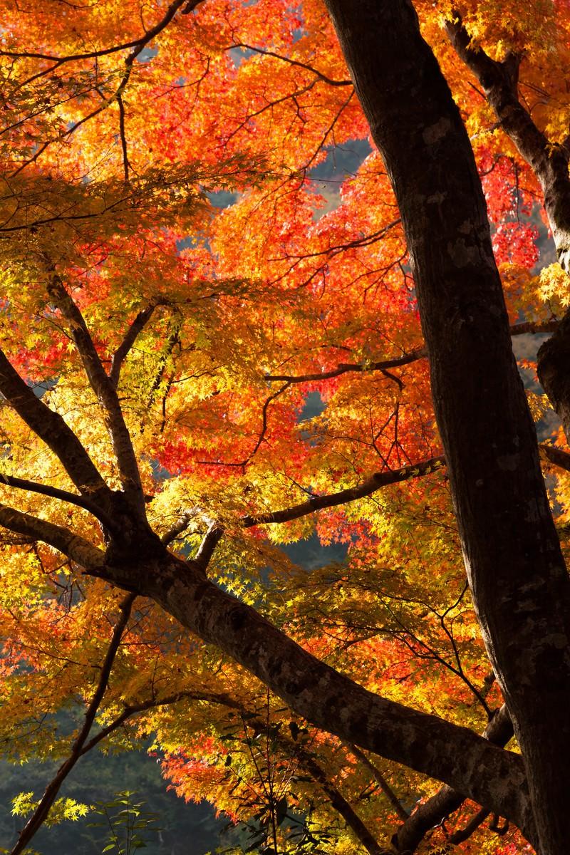 「オレンジ色に黄葉した木」の写真
