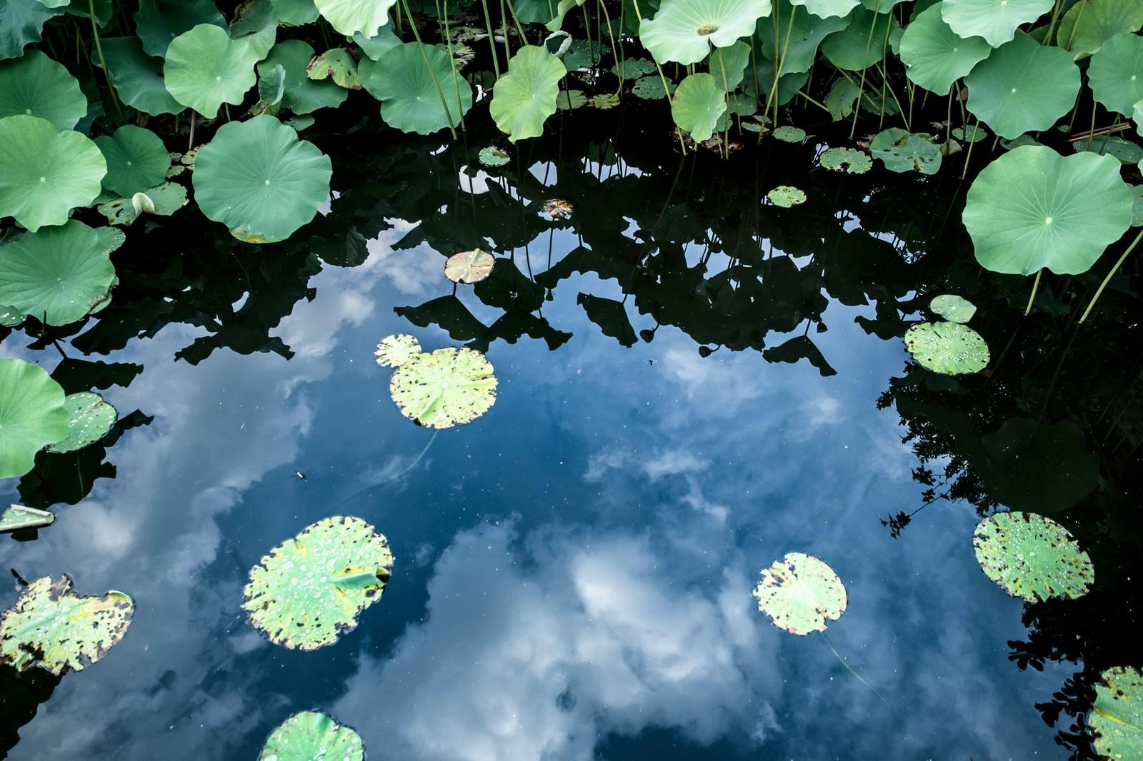 「水面に映る空と蓮の葉」の写真