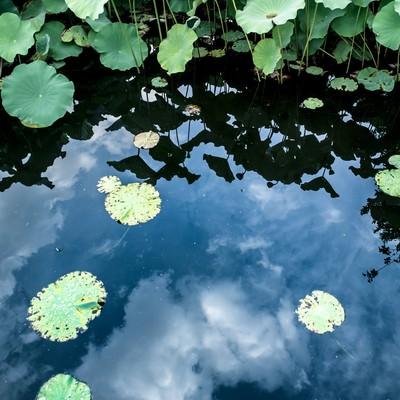 水面に映る空と蓮の葉の写真