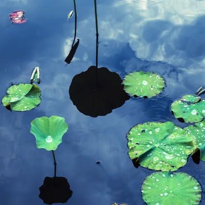 水面に浮かぶ蓮の葉と映りこむ空の写真