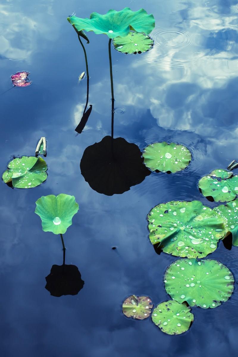 「水面に浮かぶ蓮の葉と映りこむ空」の写真