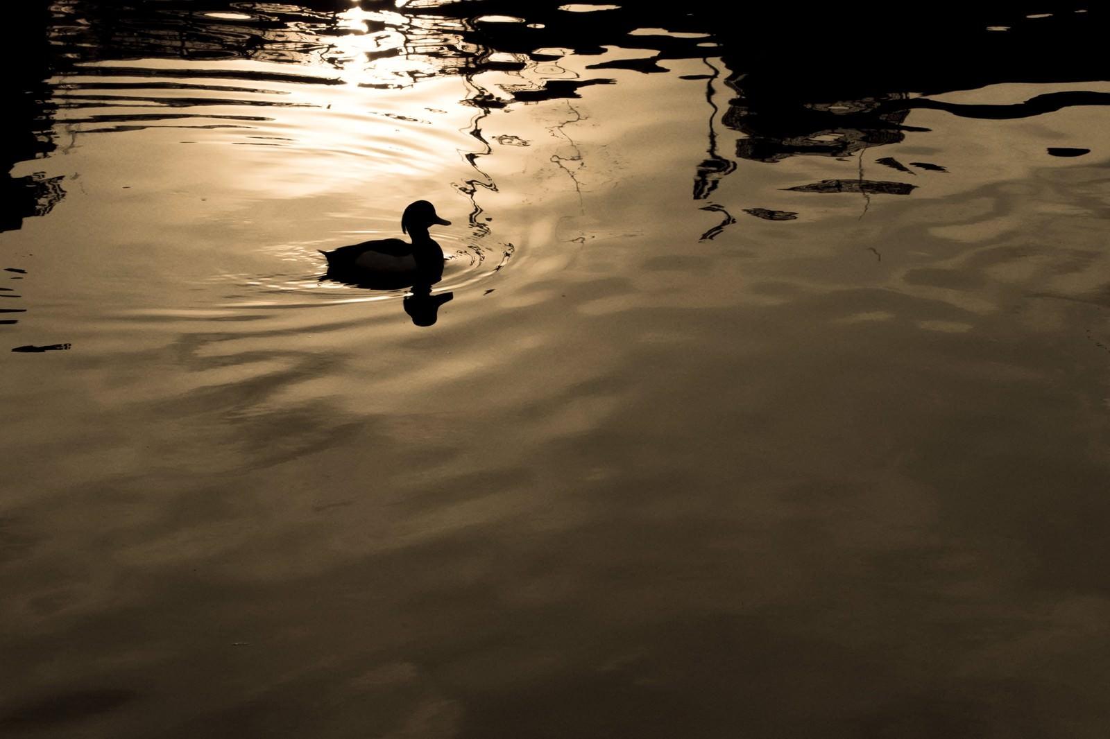 「湖面に浮かぶ野鳥のシルエット」の写真