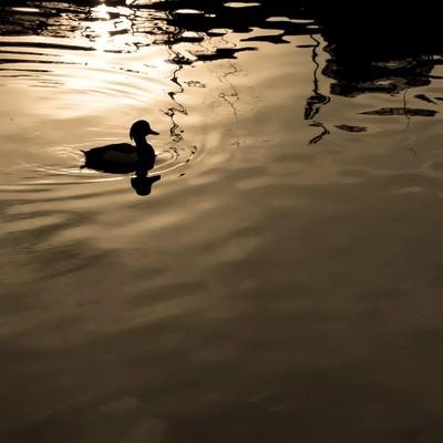 湖面に浮かぶ野鳥のシルエットの写真