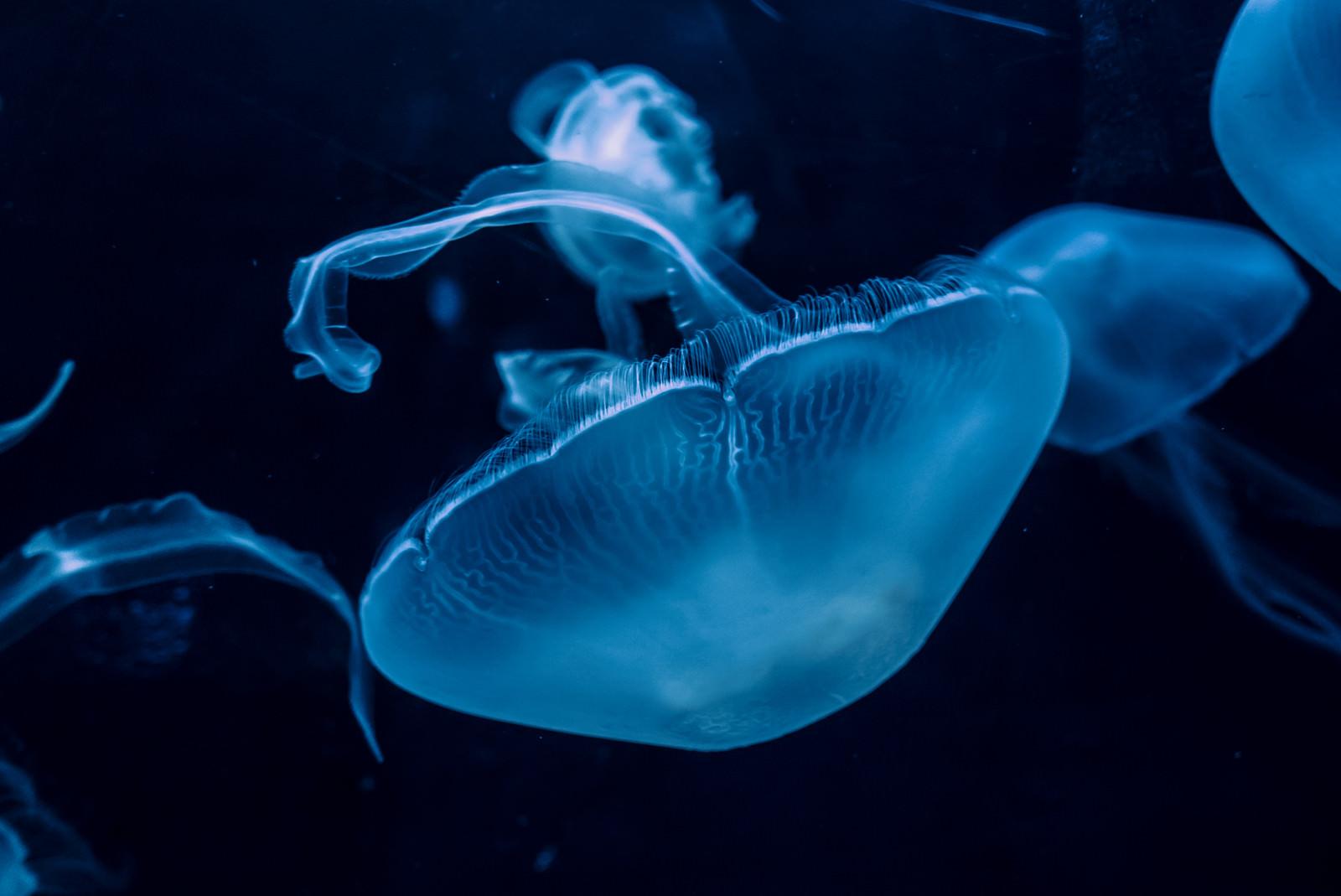 「優雅に浮かぶクラゲ」の写真