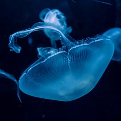 優雅に浮かぶクラゲの写真