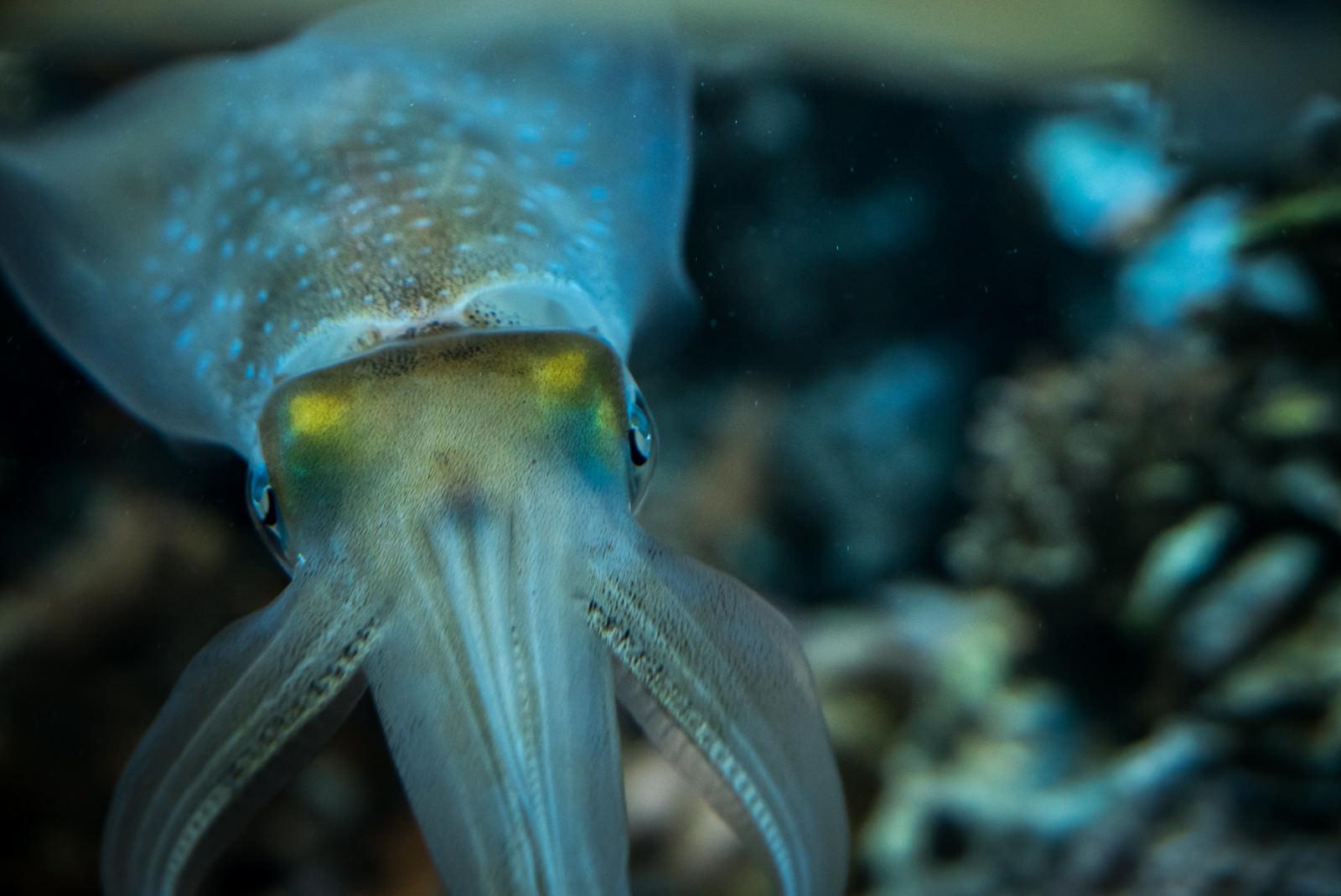 「イカの正面」の写真