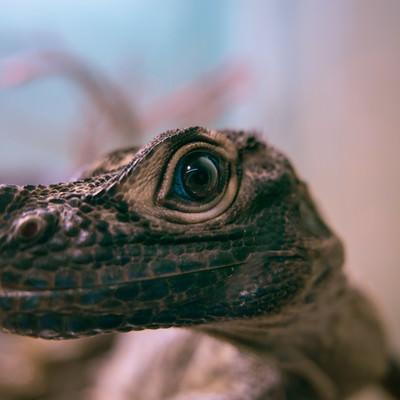 青い目を持つ爬虫類動物の写真