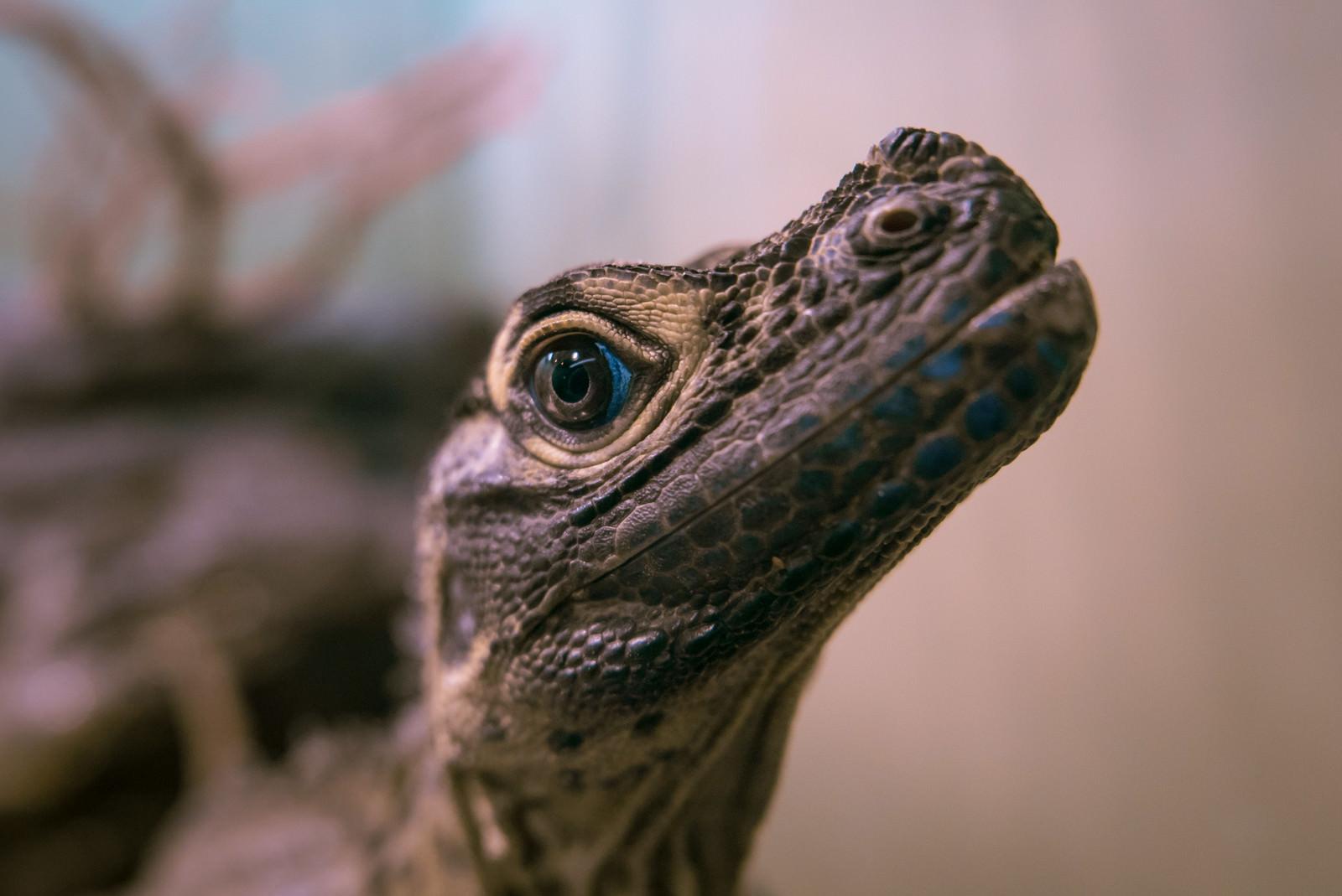 「上を見上げる青い瞳の爬虫類動物」の写真