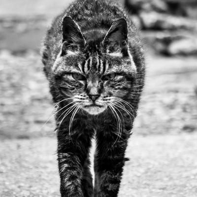 威嚇してこちらに歩み寄る猫の写真
