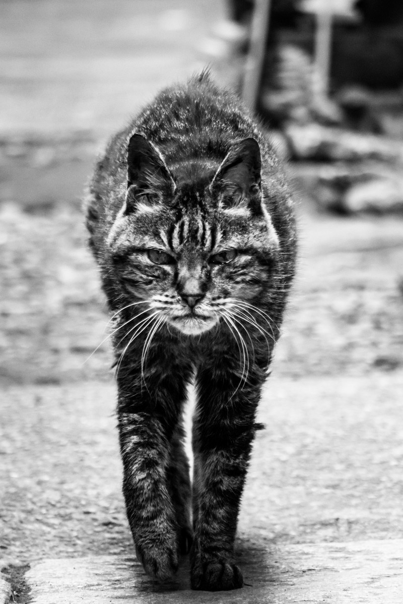 「威嚇してこちらに歩み寄る猫」の写真