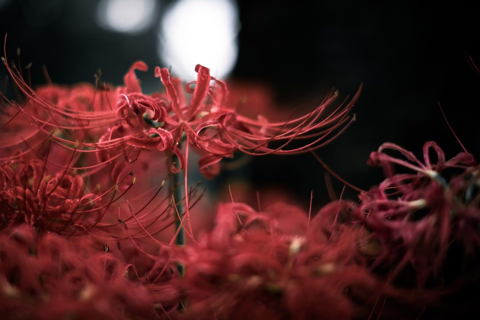 「黒暗と彼岸花」の写真