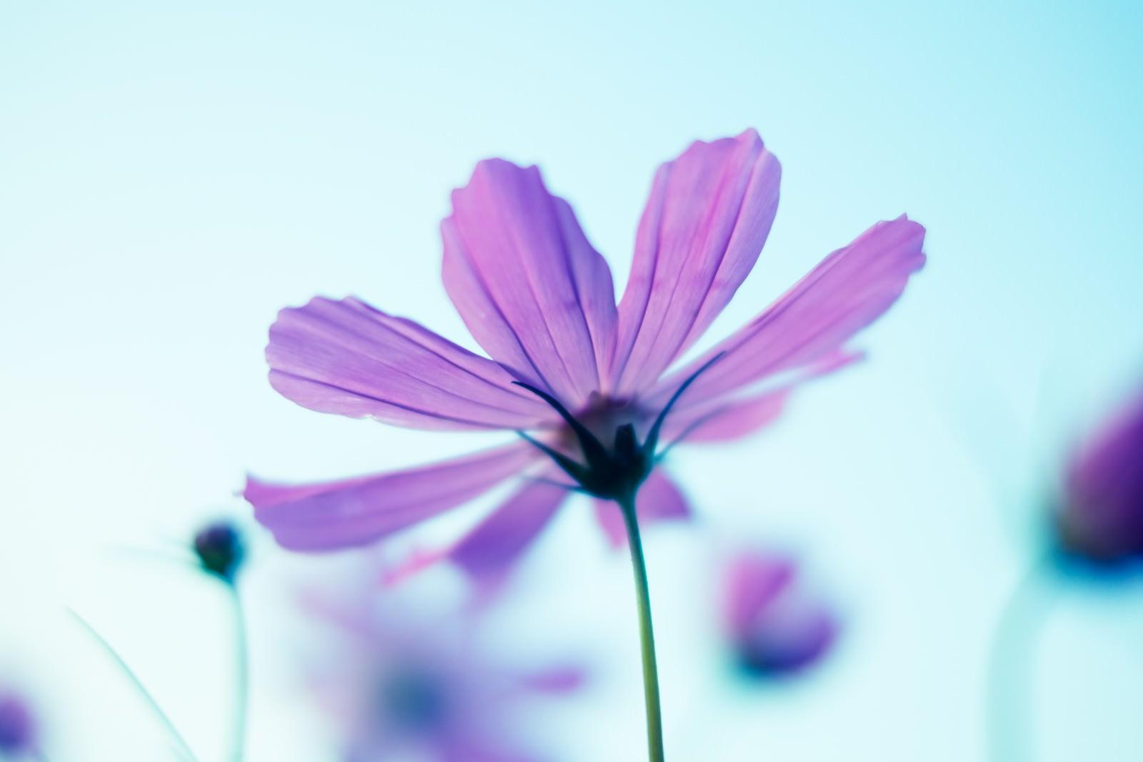 「コスモスの花と空」の写真