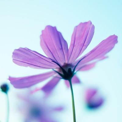 「コスモスの花と空」の写真素材