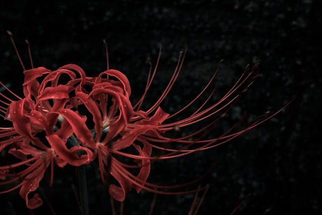 暗闇に咲くヒガンバナの写真