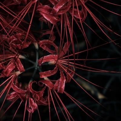 「刺々しい彼岸花」の写真素材