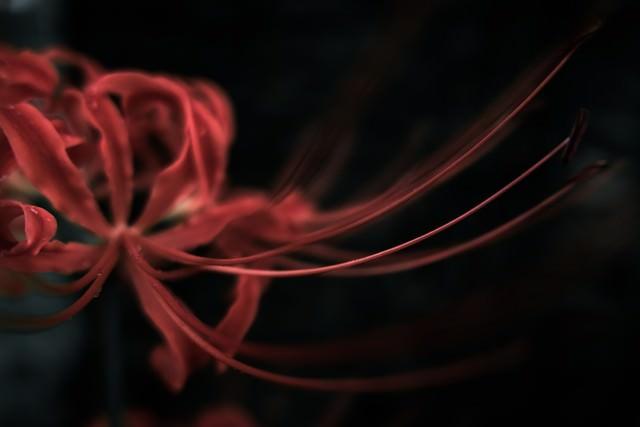 まるで触手のような彼岸花の花弁の写真