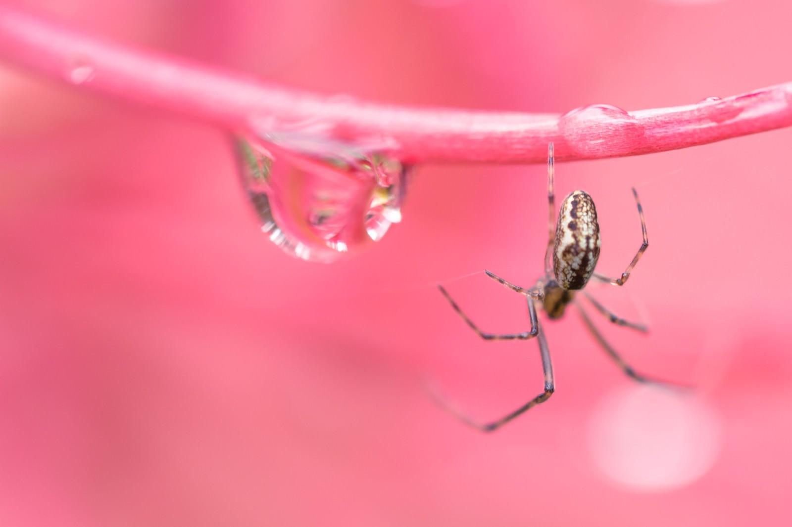 「水滴と蜘蛛(マクロ撮影)水滴と蜘蛛(マクロ撮影)」のフリー写真素材を拡大