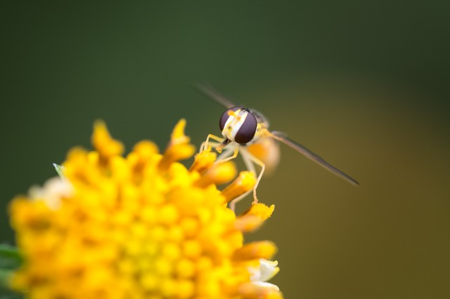 花粉を運ぶ虻の写真