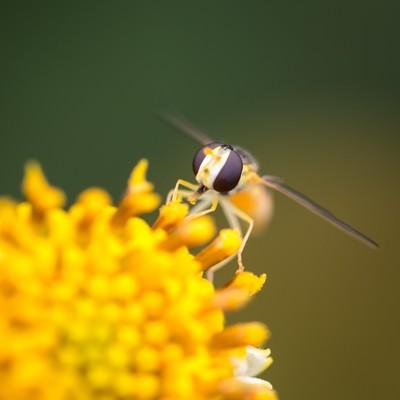 「花粉を運ぶ虻」の写真素材