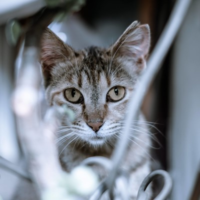 「こちらを凝視する猫ちゃん」の写真素材