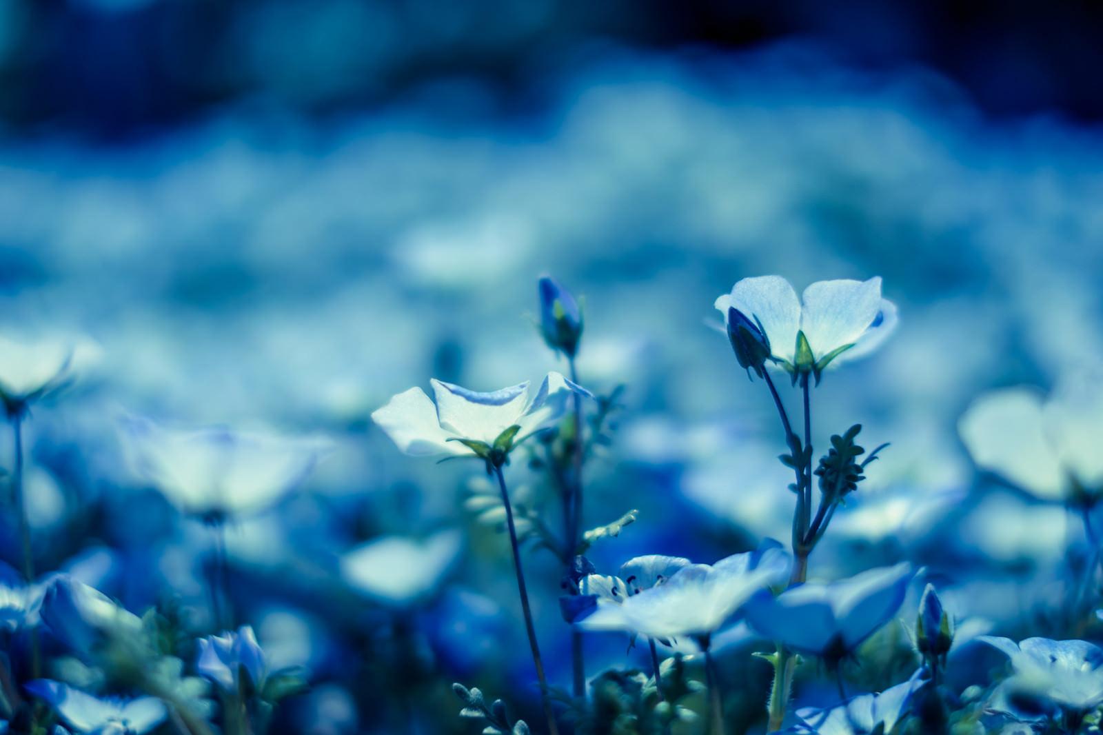 「ネモフィラの花々」の写真