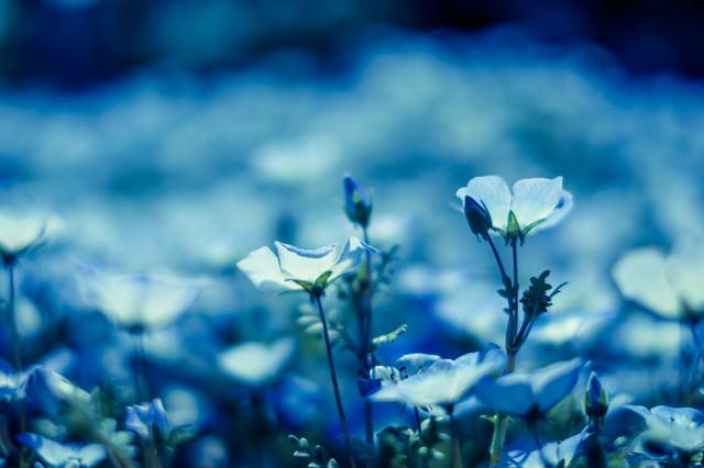 ネモフィラの花々の写真