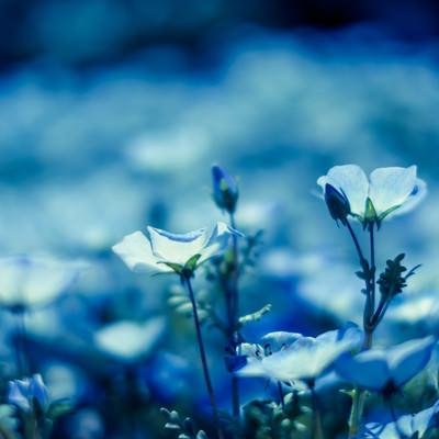 「ネモフィラの花々」の写真素材