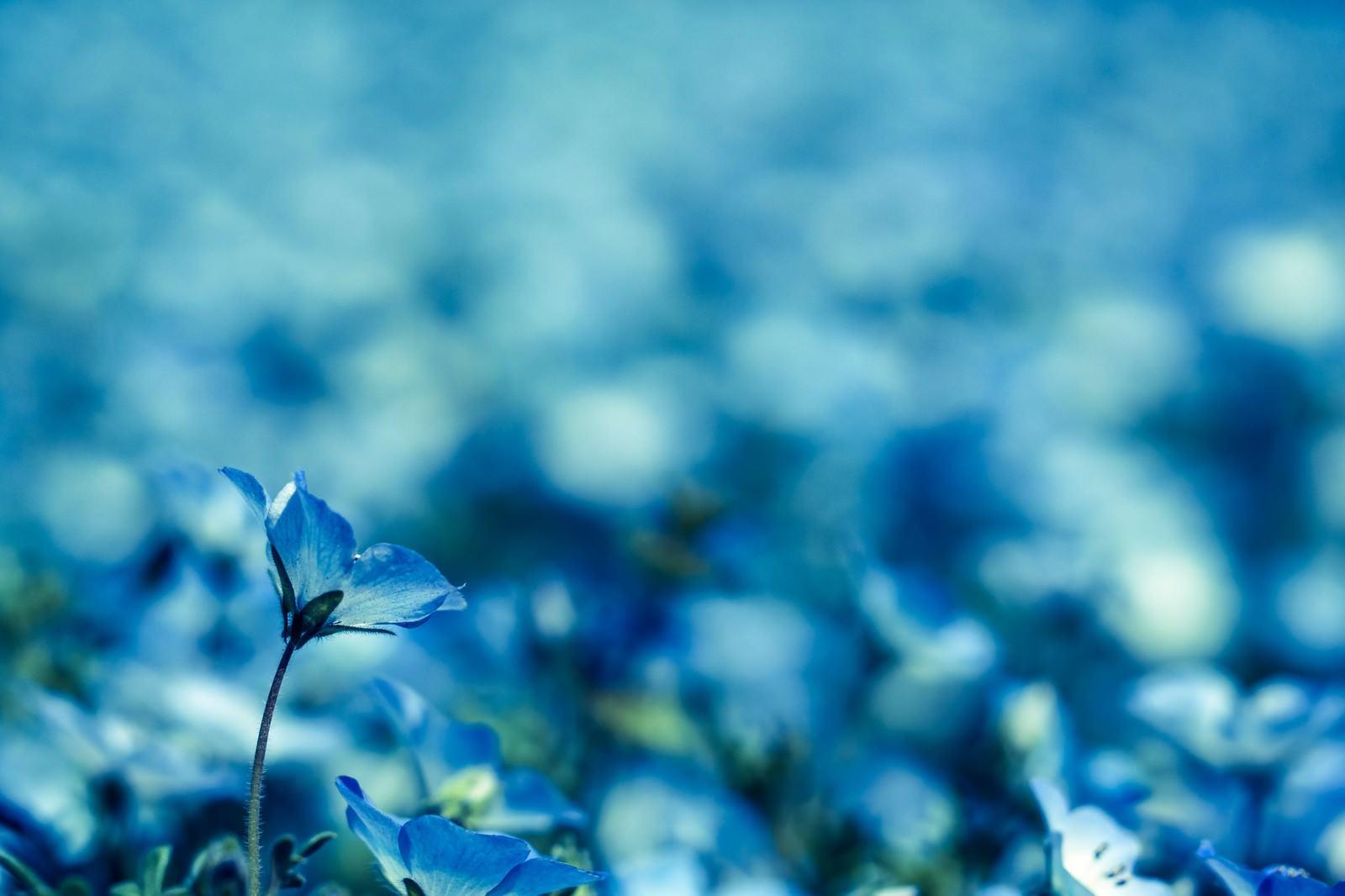 「青いネモフィラ」の写真