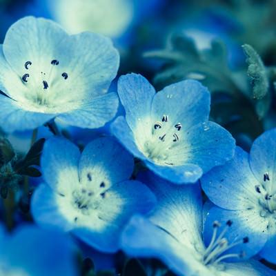 青いネモフィラの花の写真