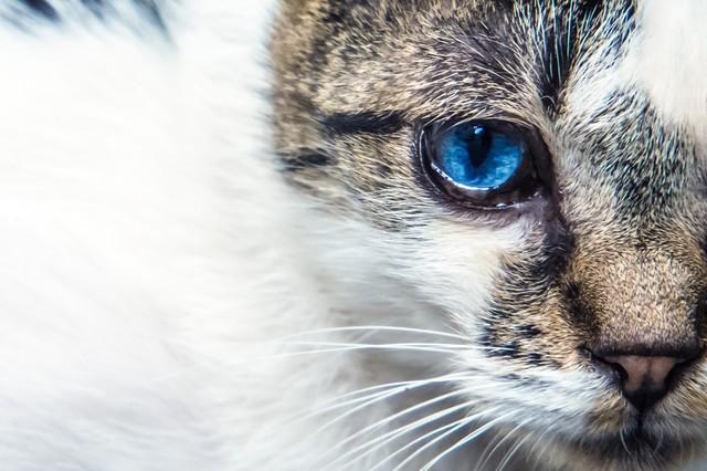 蒼眼の猫の写真