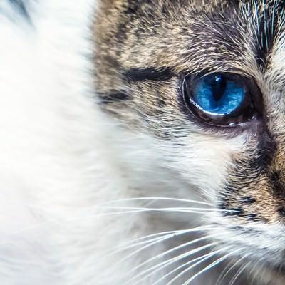「蒼眼の猫」の写真素材